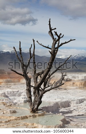 Dry tree on Mammoth Hot Springs,Yellowstone,USA