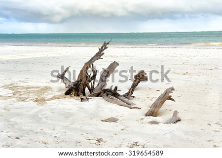 Dry tree on the beach Indian ocean - stock photo