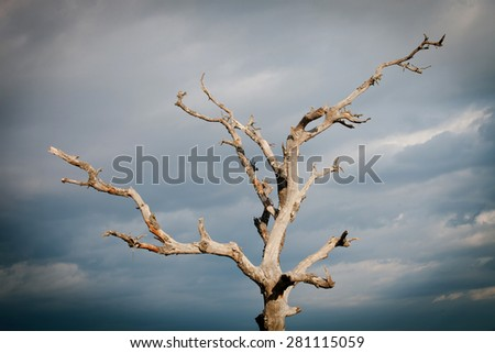 Dry tree with a cloudy sky of background - stock photo