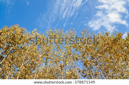 Dry trees isolated on blue sky