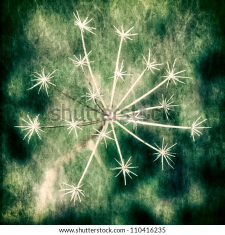 Dry umbel on an abstract background - stock photo