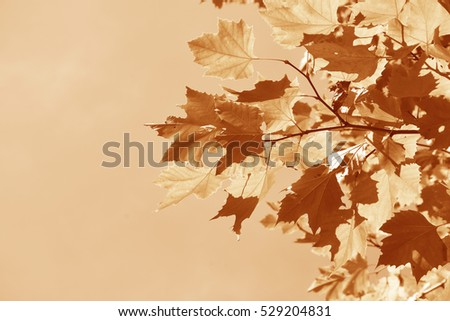 Dry Vintage Maple on sky background