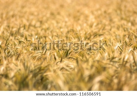 Dry wheat closeup photo before harvest