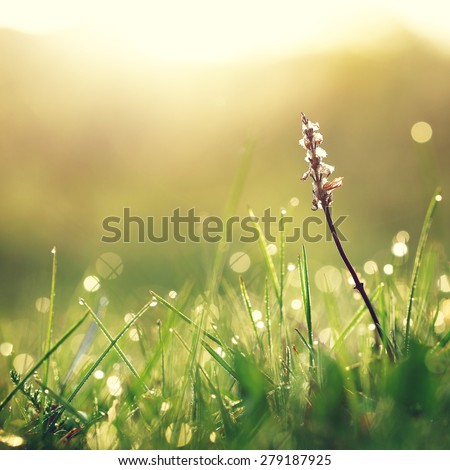 Dry white flower in wet green grass. Fresh outdoor nature background - stock photo