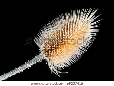 Dry Wild Teasel Field Flower -Dipsacus fullonum Plant- Isolated on Black Background - stock photo