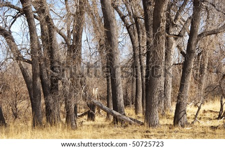 Dry winter forest of cottonwood trees and golden grasses - stock photo