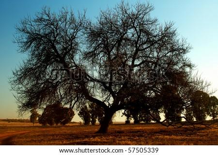 Dry woody tree - stock photo