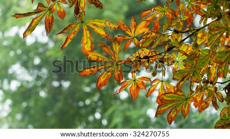 Dry yellow and red autumn chestnut tree leaves detail on blurred green foliage background