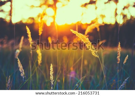 Dry Yellow Grass Meadow In Sunset Sunrise Sunlight. Autumn In Russia - stock photo