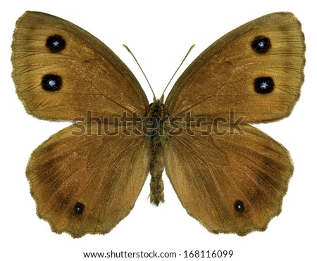 Dryad butterfly (Minois dryas) isolated on white background - stock photo