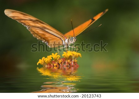 Dryas julia butterfly, Costa Rica - stock photo