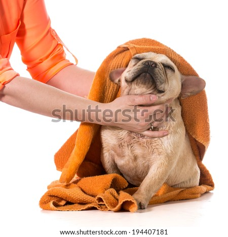 drying french bulldog off with a towel after bath - stock photo