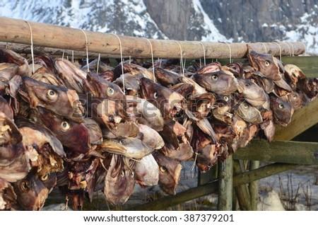 Drying of stockfish on Lofoten islands in Norway  - stock photo