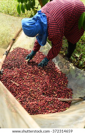 drying red berries coffee in the sun. - stock photo