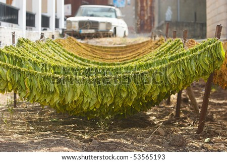 Drying Tobacco - stock photo