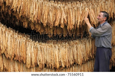 Drying Tobacco - stock photo