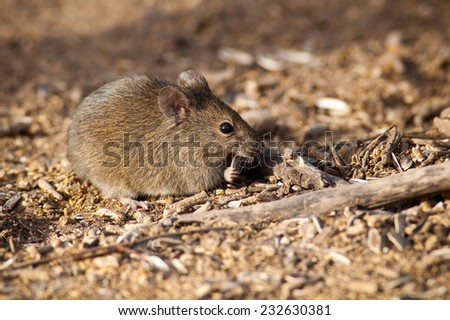 Drylands Vesper Mouse (Calomys musculinus) feeding on seeds. Patagonia, Argentina, South America. - stock photo