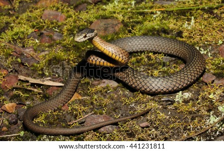 Drysdalia rhodogaster) is a species of snakes of the family Elapidae. This species is endemic to New South Wales in Australia. - stock photo
