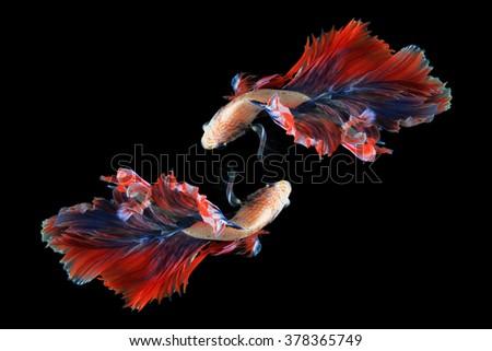 Dual betta fish isolated on black background. ( Mascot double tail ) Ballerina betta fish - stock photo