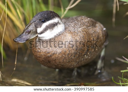 Duck - Anas Platalea Detail Photo
