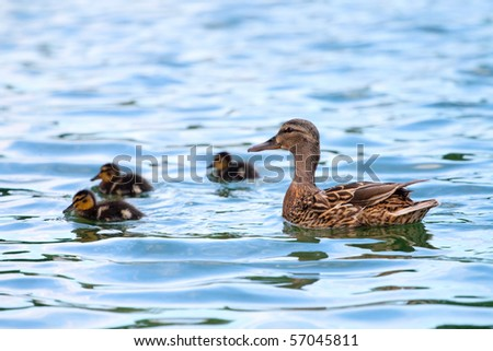 Duck and baby ducklings in the water - stock photo