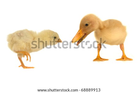 duck and chick on a white background - stock photo
