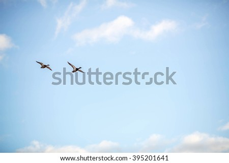 Duck and drake flying in the blue sky. Image with selective focus