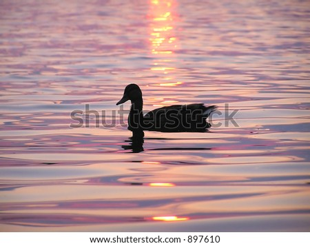 Duck and sunrise