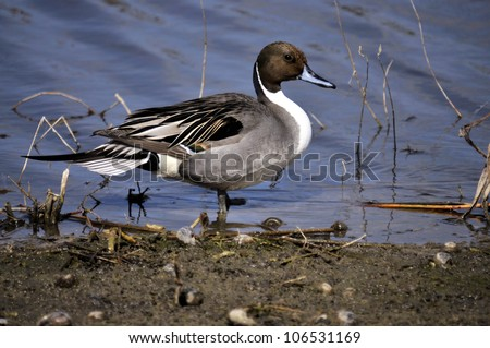 Duck at the at Wellington Marsh in south Florida / Northern Pintail