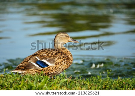 Duck beside a pond.