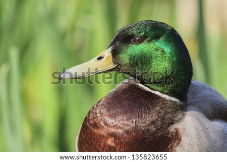 duck close up - stock photo