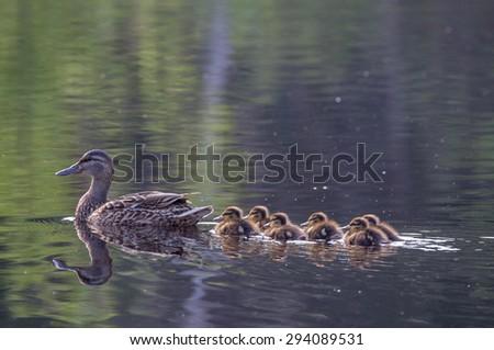 Duck family at Lake Yushino - stock photo