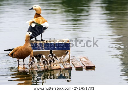 duck family at the lake - stock photo