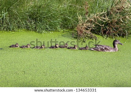 Duck family enjoy abundance of food in a duckweed saturated pond. Duckweed contains lots of proteins and is also used in human diet in some regions. - stock photo