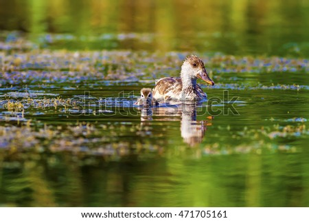 duck family red crested pochard