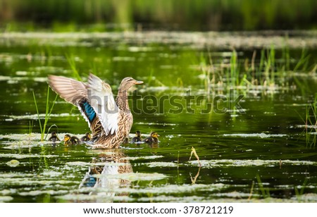 duck family swimming on the lake with young sweat birds and mother moving wings - stock photo