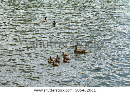 Duck family swims in the pond