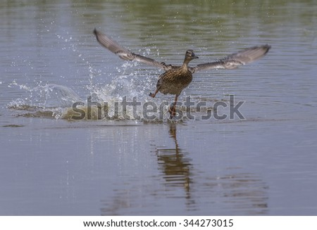 duck female(Anas platyrhynchos) in fly - stock photo