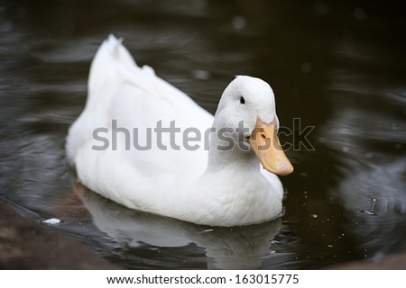 Duck floats on water