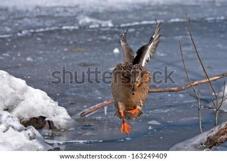 Duck - footballist - stock photo