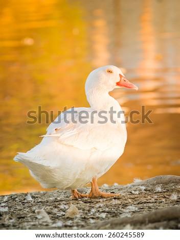 Duck goose golden hour - stock photo