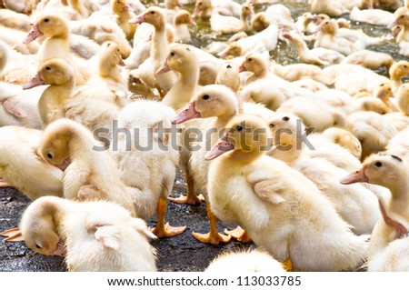 Duck group animal Background duckling collected together outdoor sunlight - stock photo