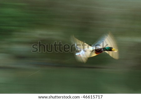 Duck In blured flight - stock photo