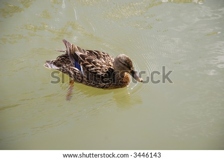 Duck in pond at Kiev water park