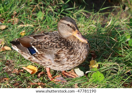duck in the green grass - stock photo