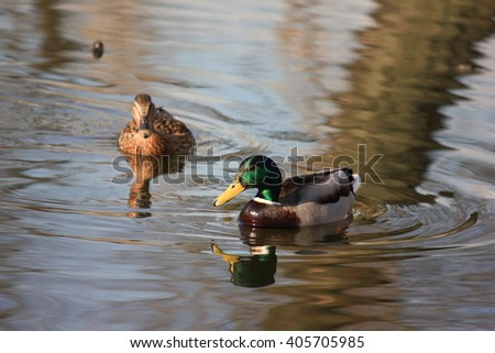 Duck in the pond - stock photo