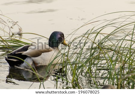Duck in the water - stock photo