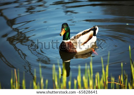 duck in zoo - stock photo