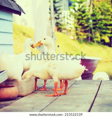 Duck - instagram filter - stock photo