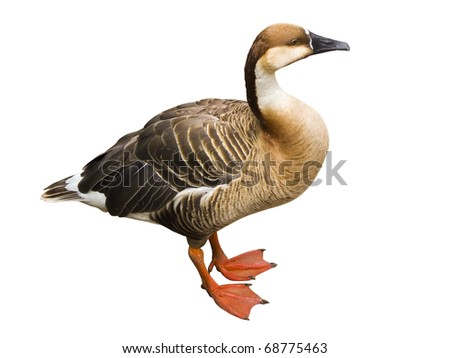 Duck isolated on a white background (with clipping path) - stock photo